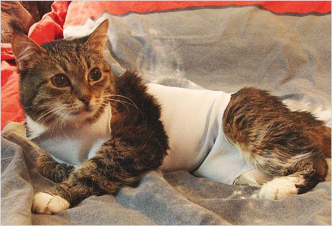 Что делать, если у кошки опухла молочная железа