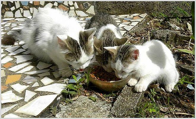 Почему у кошки опух подбородок и как с этим бороться