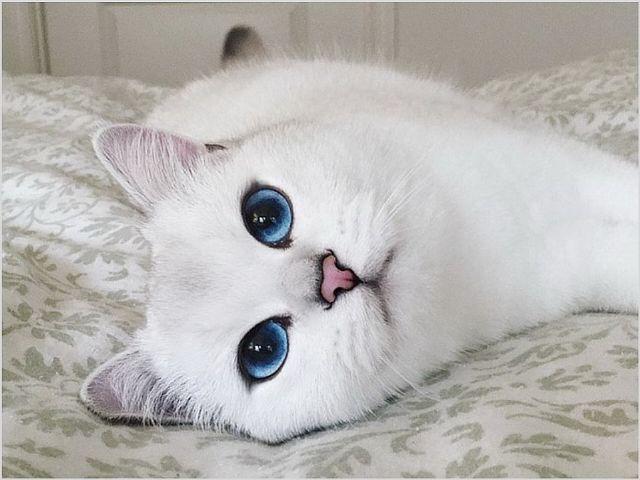 Что делать если у кошки опух сосок