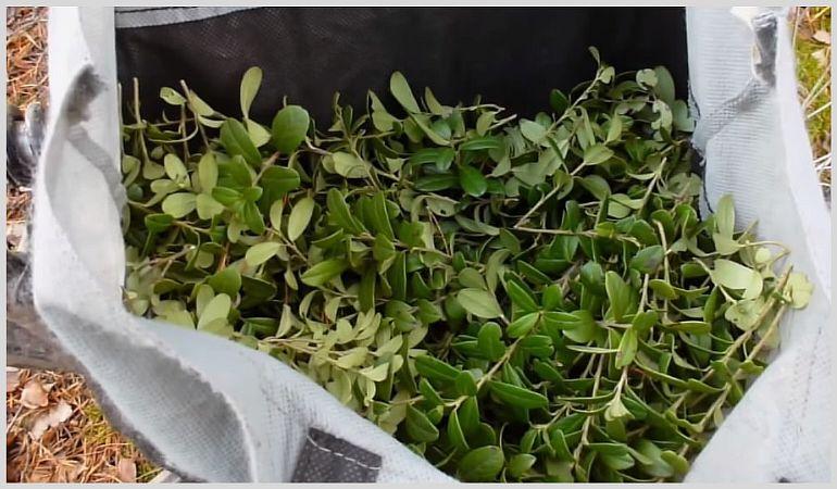 Как правильно заваривать листья брусники